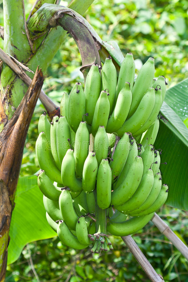 Download Green bananas stock image. Image of cluster, tasty, herbaceous - 21562779