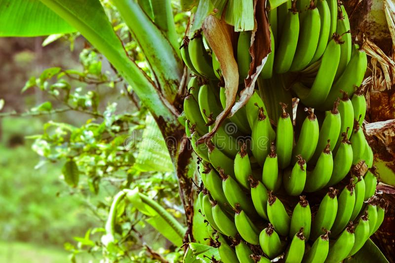 Green bananas in the middle of the field grow in the palm stock photography