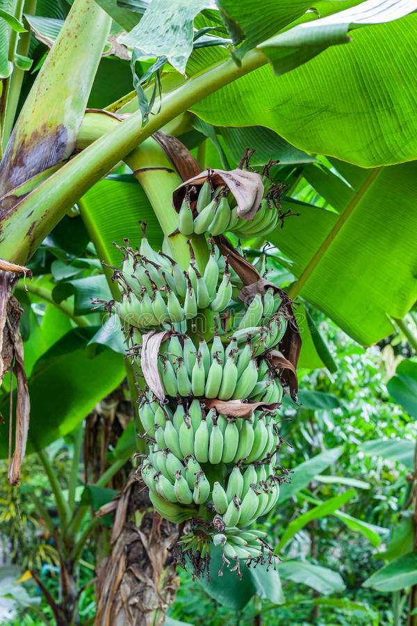Green bananas on a tree stock photo. Image of feed, fruit ...