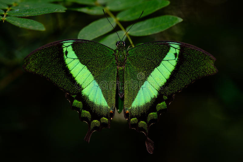 Green banded Swallowtail butterfly royalty free stock photo