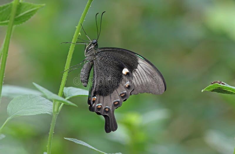 Green banded Swallowtail stock photo