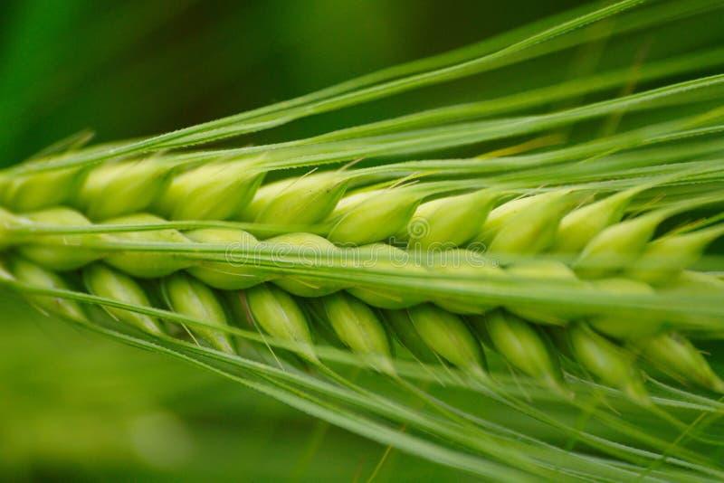 Green Barley Ear royalty free stock images