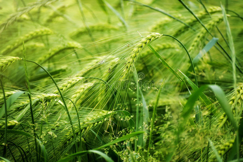 Green barley field, abstract nature background concept for agriculture and nutrition, fertilization and pesticides, copy space. Green sunny barley field royalty free stock photos