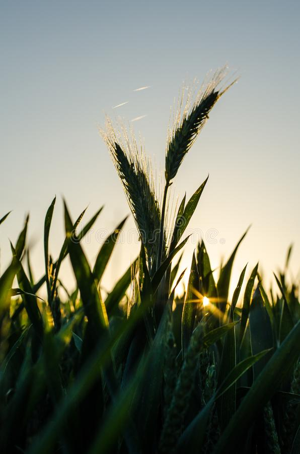 Green barley in field. The sun is setting. Cereals, agriculture. Beautiful day, blue sky, the sun shines royalty free stock images