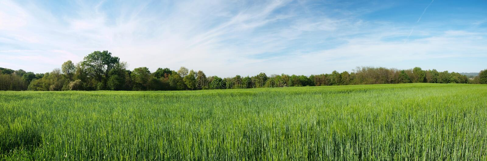 Green barley panoramic field stock image
