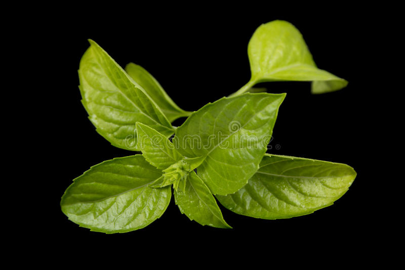 Download Green basil stock image. Image of modern, green, spice - 29013719