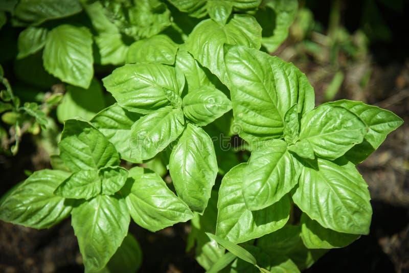 Green basil leaf plant growing in the vegetable garden plantation / Fresh sweet genovese basil herb stock photo