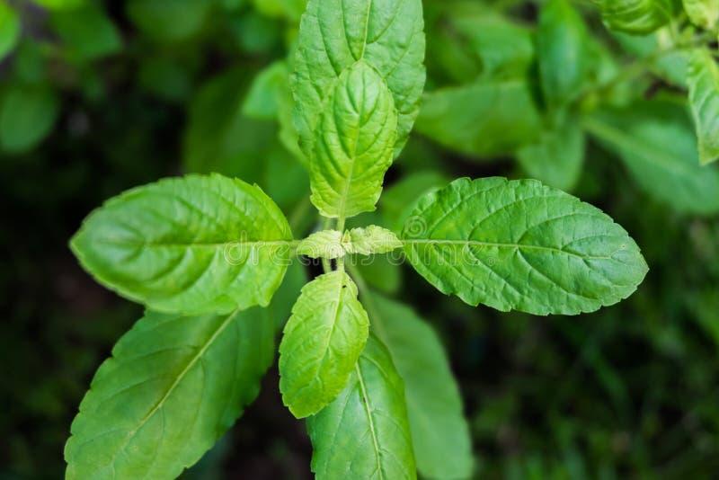 Green Basil leaf Thai herb stock photos