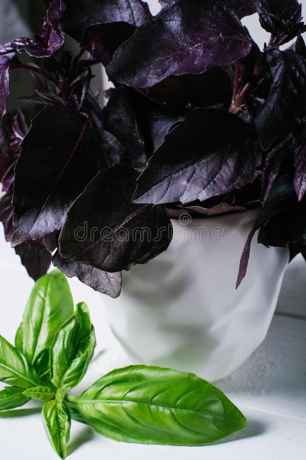Green basil leaves on background of white brick wall, fresh healthy herbal food on kitchen table, space mock up, dieting leaf vega. N pesto on wooden on space stock photography