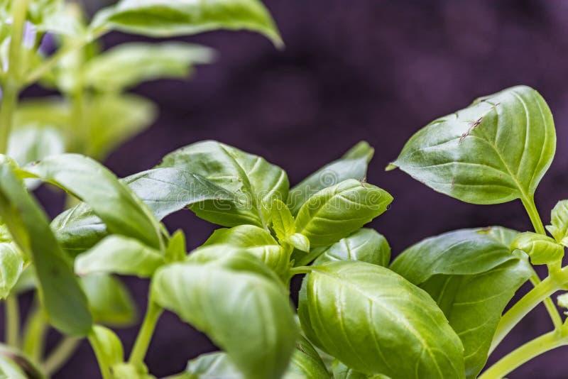Green basil leaves on blurred black background stock images