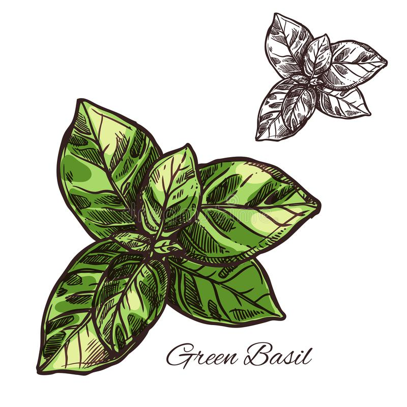 Green basil seasoning vector sketch plant icon. Green basil seasoning spice herb sketch icon. Vector isolated leaf of basil for culinary cuisine cooking or vector illustration