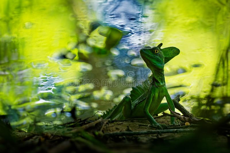 Green Basilisk - Basiliscus plumifrons also called the green basilisk, the double crested basilisk, or the Jesus Christ lizard stock images