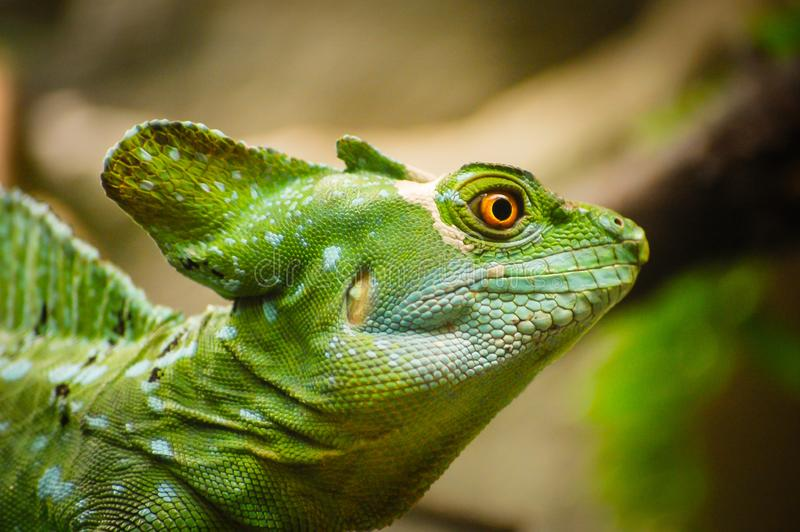 Green basilisk lizard. Close-up view of a green Plumed basilisk Basiliscus plumifrons. Detail of the eye of green reptile. stock photo