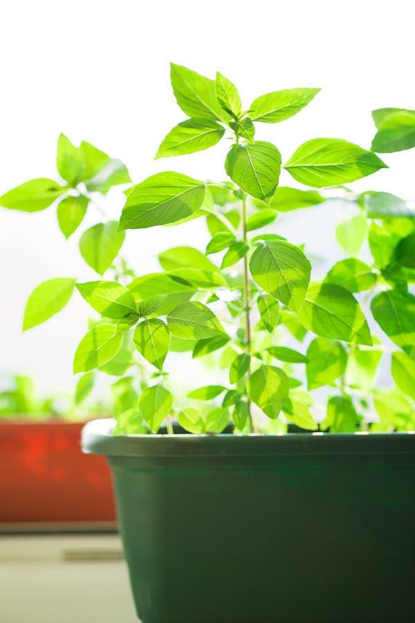 Green Basket With Basil Stock Photos