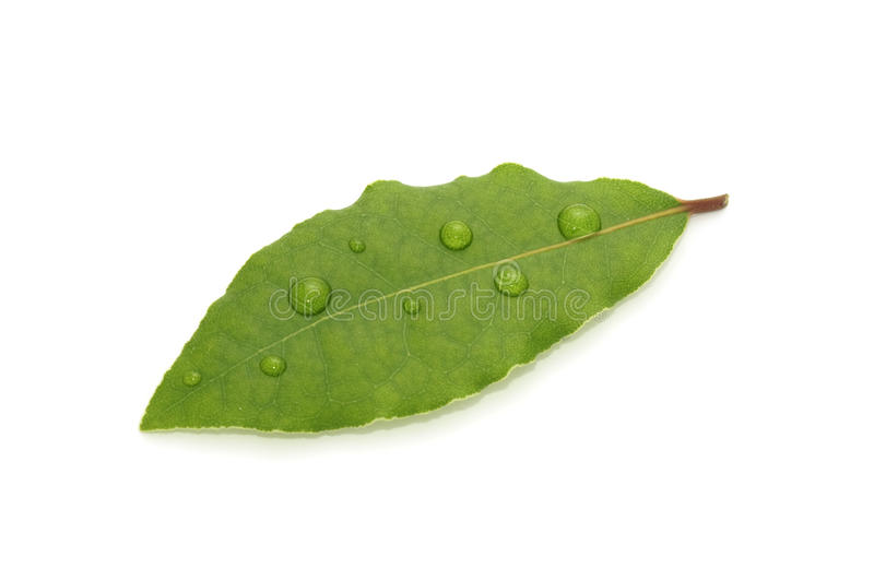 Green Bay Leaf with Dew Drops stock photo