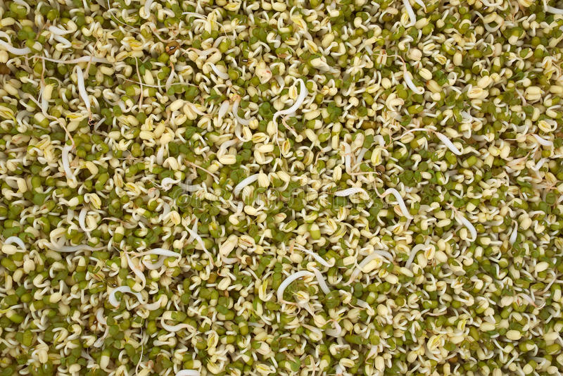 Download Green bean sprout stock photo. Image of pulse, pattern - 24977308