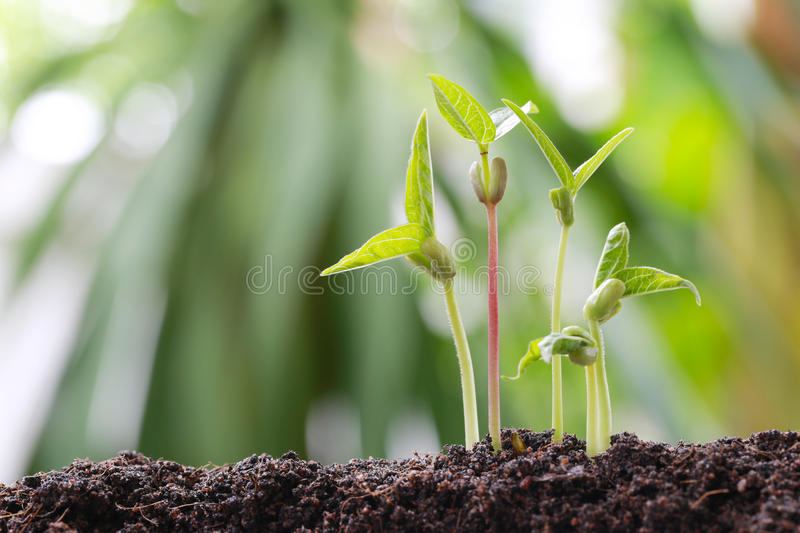 Green bean sprouts on soil in the vegetable garden and have nature bokeh background. royalty free stock photo