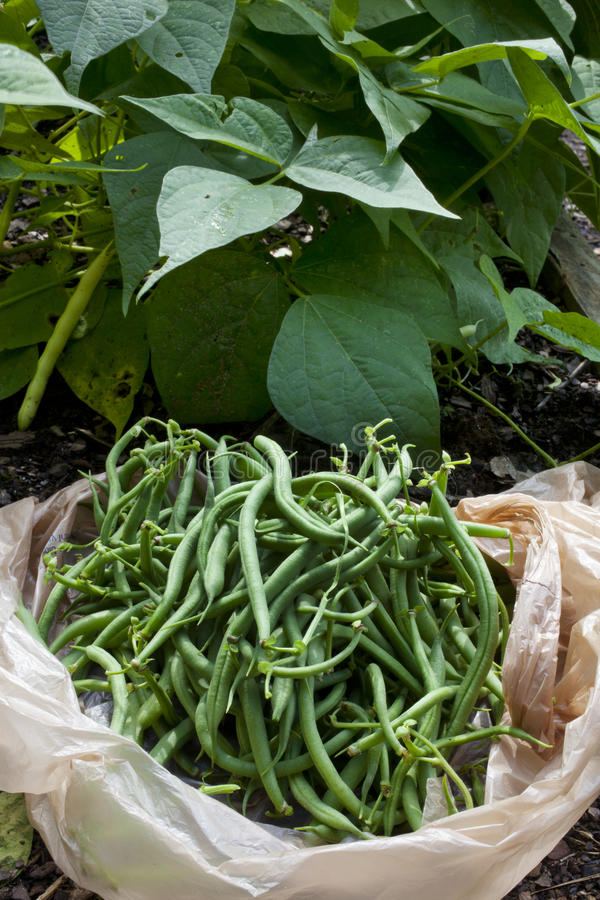 Download Green Beans Stock Image - Image: 32058061