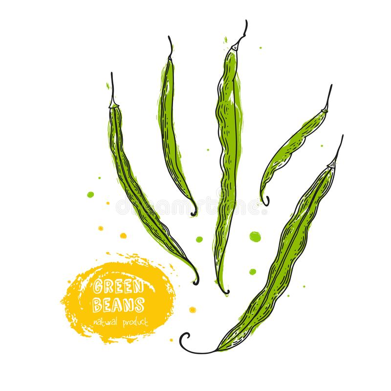 Green beans hand drawn illustration in the style of engraving. Detailed vegetarian food drawing. Farm market product. Grunge illus vector illustration