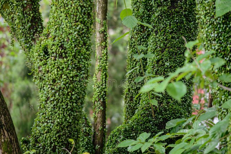 Green beautiful ivy on the trees in the forest. Lantau Island, Hong Kong stock images