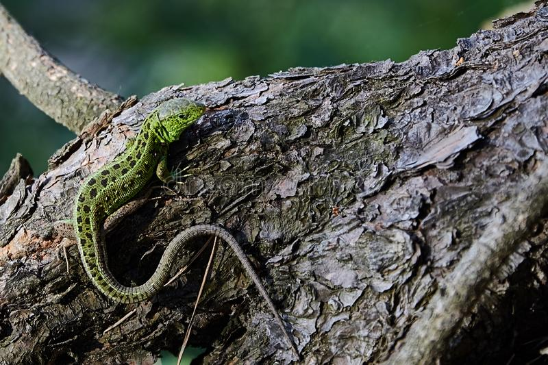 Green beautiful lizard sits on the root of a pine, closeup. royalty free stock photos