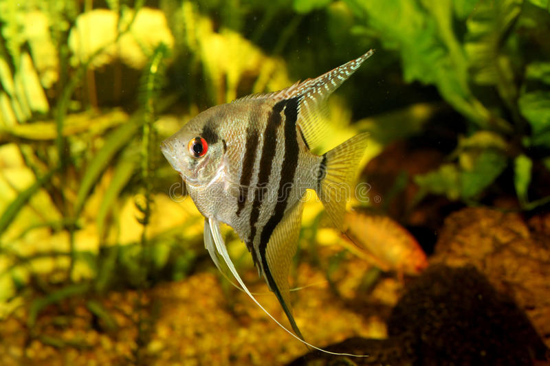 A green beautiful planted tropical freshwater aquarium with fish pterophyllum scalare stock photos