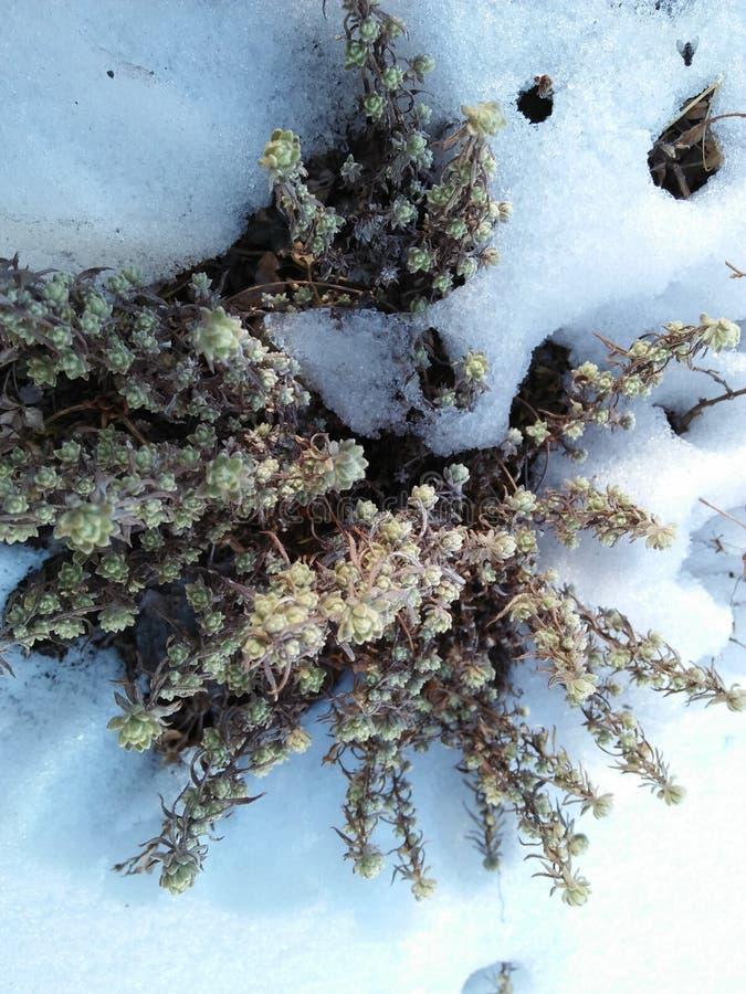 Green beauty on snow royalty free stock photos