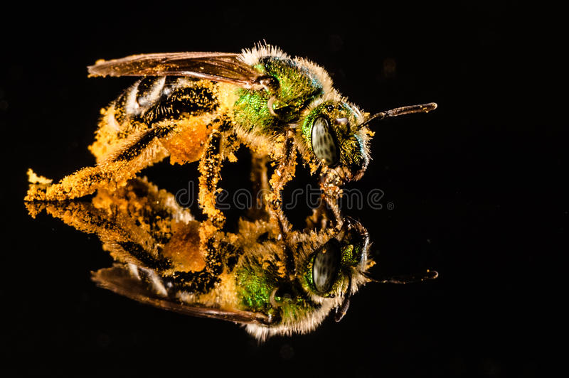 Green bee covered with pollen stock photography
