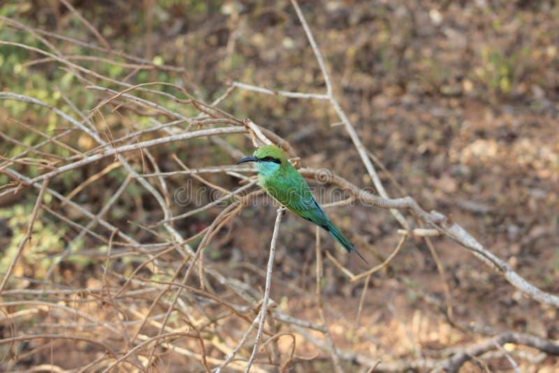 Green Bee Eater stock photos