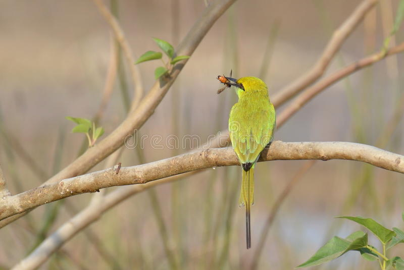 Green Bee Eater with a Bee. Little Green Bee-eater/ Green Bee-eater (Merops orientalis) is a small bird of bee-eater family found in Indian Subcontinent. They stock photography