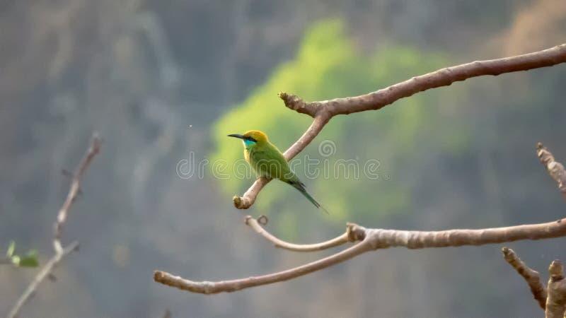 Green bee-eater bird in morning light on tree branch stock photos