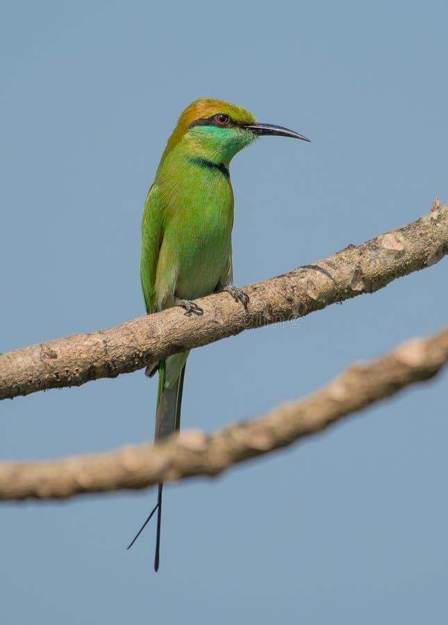 A Green bee eater bird stock photo