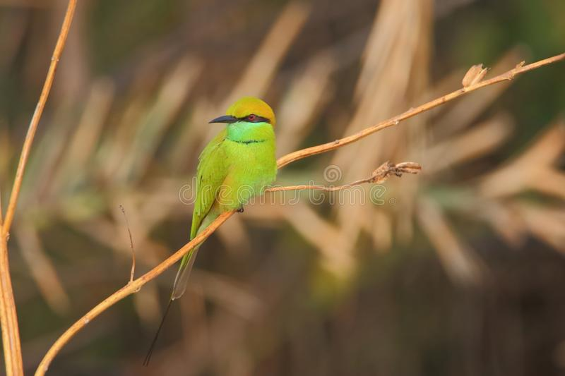 Green bee eater bird royalty free stock photos