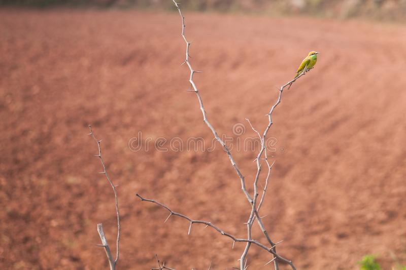 Green bee eater at a bush stock photography