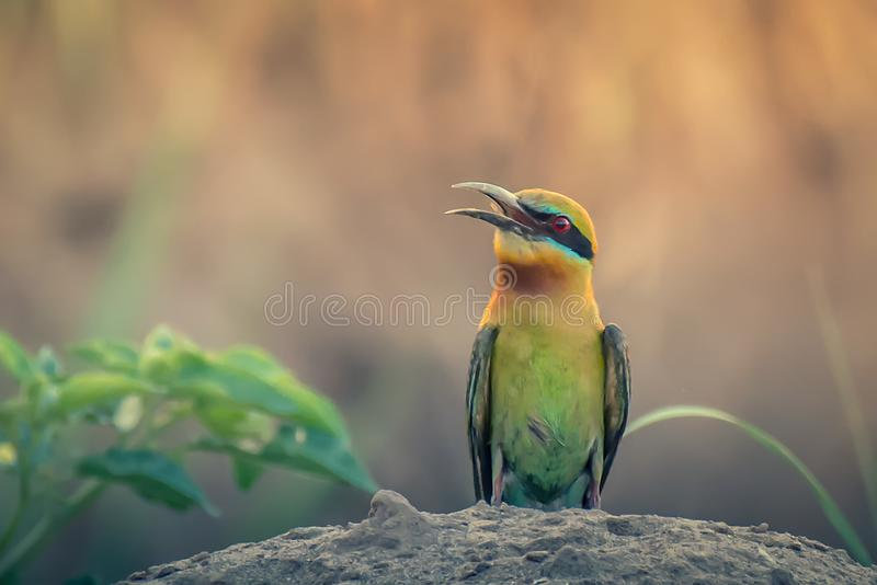 Green Bee Eater at evening time stock photos