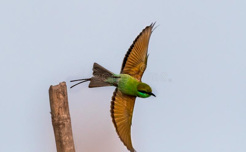 Green Bee-eater with his color stock photos