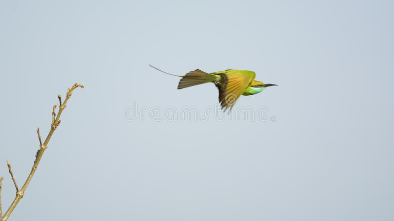 Green bee eater taking off from a branch stock photos