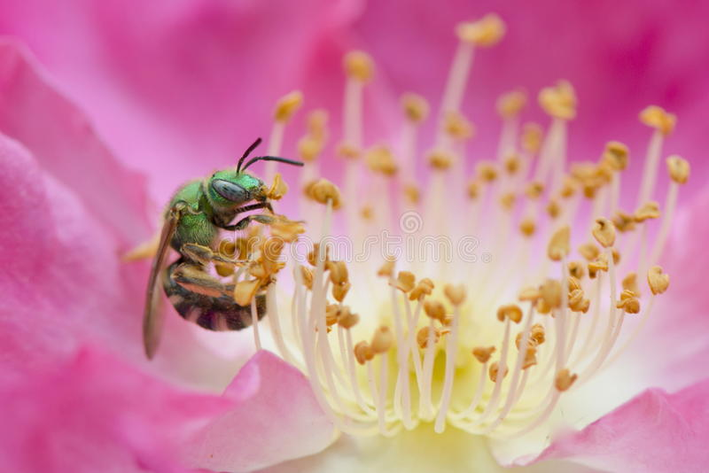 Green Bee in Rose. A halictid bee, Agopostemon virescens, also called the half green sweat bee and bicolored green bee royalty free stock image