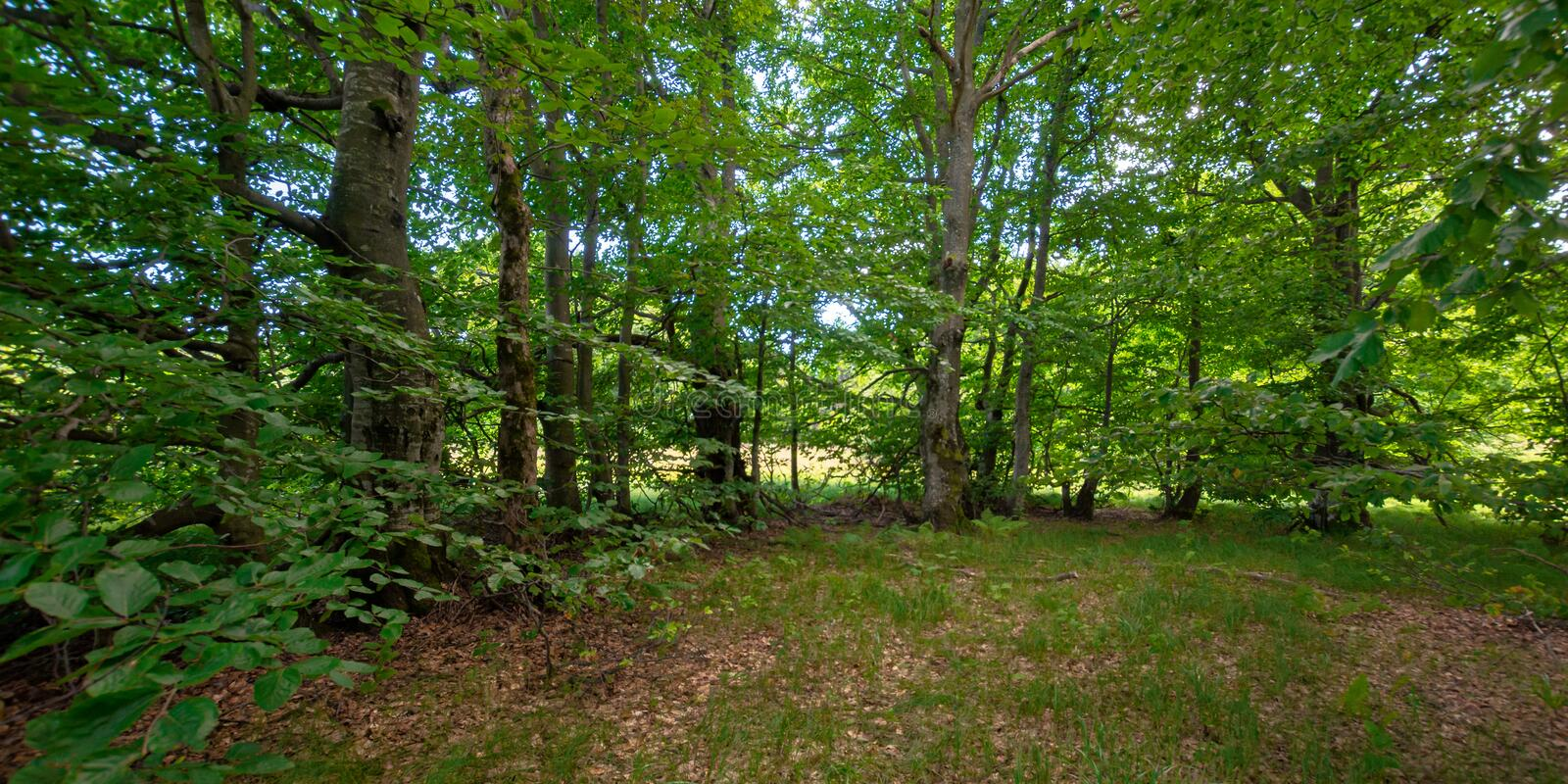 green beech forest in summer. wonderful nature background. lush foliage royalty free stock image