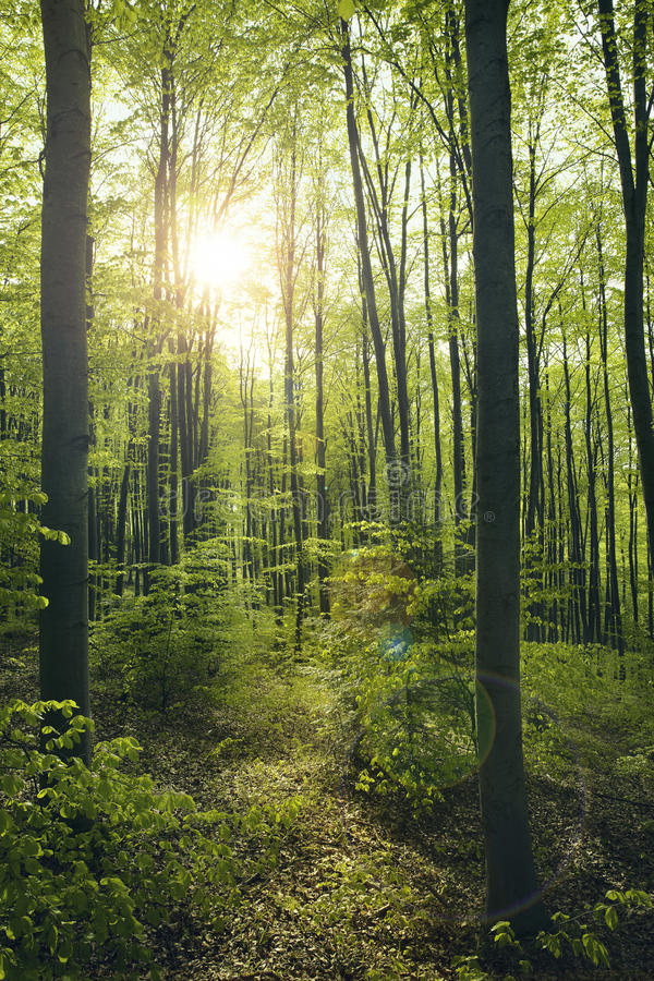 Download Green beech forest stock photo. Image of dusk, background - 40426478