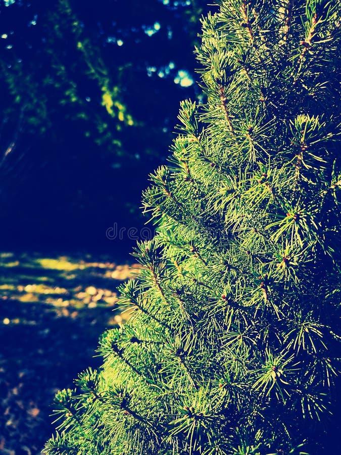 Green beech needles royalty free stock photography