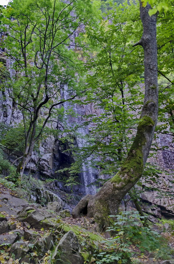 Green beech summer forest in front Boyana waterfalls and rock, Vitosha stock photography
