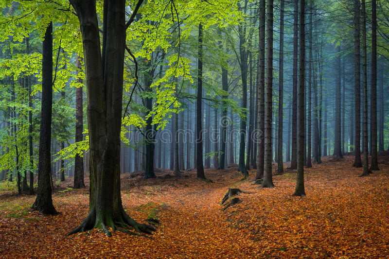 Green beech tree in the autumnal forest. With colorful autumnal mood royalty free stock photo