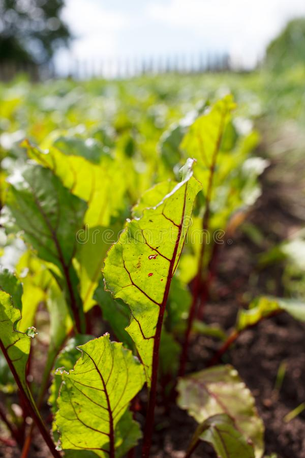 Green beet tops on the garden bed stock image