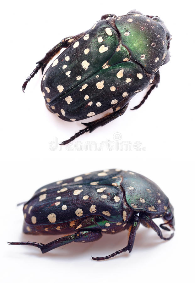 Green beetle. (Cetonia aurata) on white background royalty free stock photos