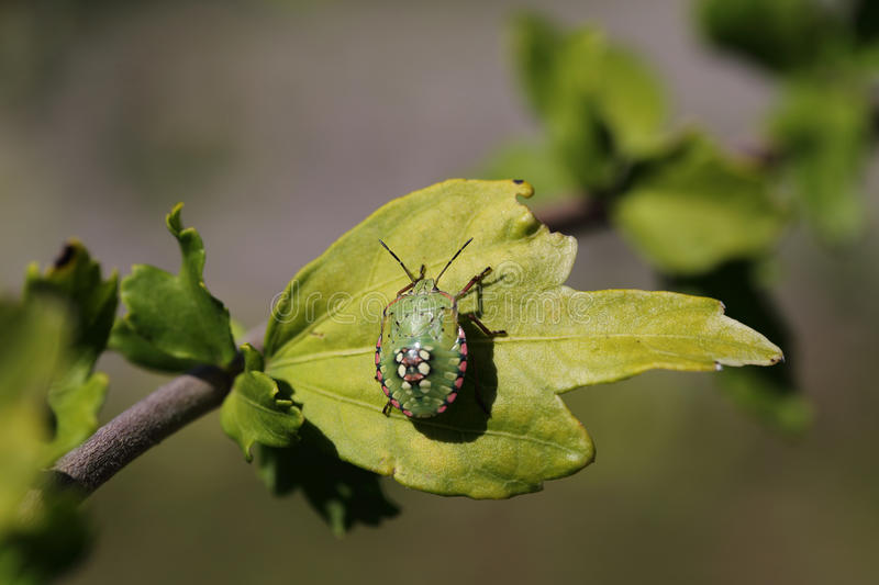 Green beetle with a beautiful pattern on the back stock photo