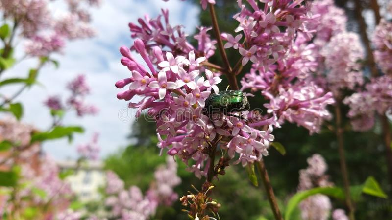 A green beetle on the bright pinc and lilac flowers on a sunny summer day stock photos
