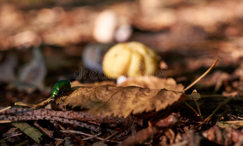 Green beetle on an brown autumnal leaf. The leaf lies on pine needles. Behind the insect, you can see a fuzzy mushroom. It`s fall stock image