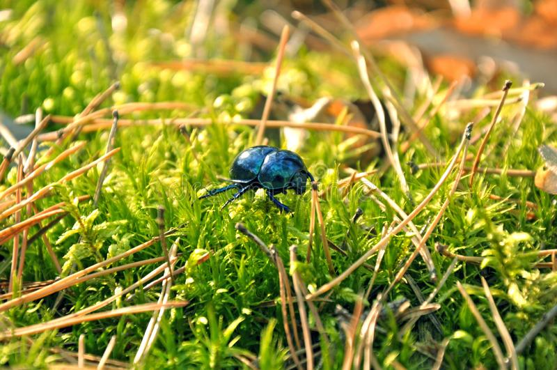 Green beetle crawling. Green beetle crawling on the grass royalty free stock image