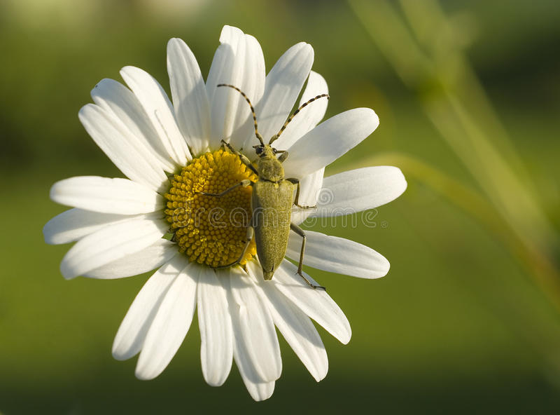 Download Green beetle on the flower stock photo. Image of world - 32231212